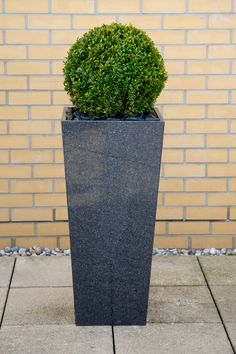 Buxus Sempervirens - this is your best shaping plant - the bones for topiary hedging. Grow ahead of garden being ready in large pots - instant features. Topiary Trees, Potted Trees, Topiaries, Large Garden Pots, Large Pots, Cool Plants, Green Plants, Buxus Sempervirens, Thuja