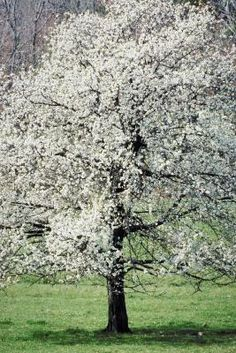 What Time of Year Is It Best to Take Dogwood Tree Cuttings?