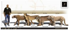 """Size comparison of the American Cheetah (left), """"African"""" Cheetah (left middle), Cougar (right middle), and the extinct Sivapanthera (right)."""