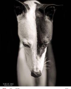 Dog Breeds Little .Dog Breeds Little Greyhound Italiano, Italian Greyhound, Dog Breed Names, Dog Breeds, Perro Whippet, Grey Hound Dog, Mundo Animal, Dog Photography, Dog Portraits