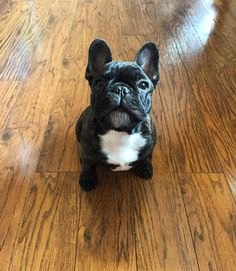 """""""Give me my treat Mom!', French Bulldogs can be VERY vocal when they want something ; }"""