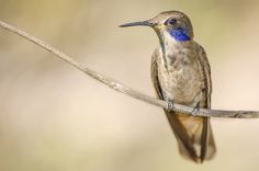 beija-flor-marrom (Colibri Delphinae)   Foto: Thalison Ribeiro