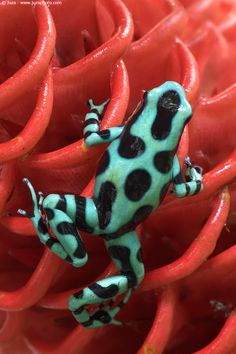 Colorful & Poisonous Frogs   ;)Dendrobates auratus