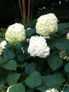 The beautiful white flowers of Annabelle Hydrangea. Birmingham Gardening Today