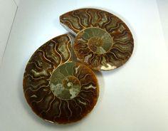 1419CTS  LARGE  MADAGASCAR  AMMONITE  SPLIT RT 2270 ammonite, Madagascar ammonite, ammonite specimen