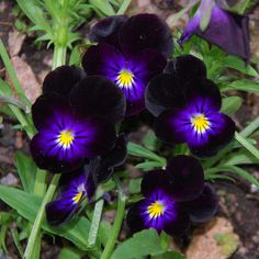 viola bowles black | VIOLA 'BOWLES' BLACK' SEEDS (Viola Tricolor)