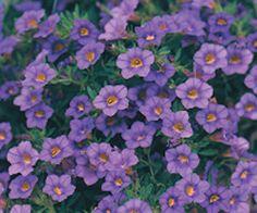Million+Bells®+Trailing+Blue+-+Calibrachoa+hybrid Purple Plants, Pink Plant, Colorful Plants, Million Bells Flowers, Outside Plants, Garden Compost, Outdoor Planters, Flower Boxes, Hanging Baskets