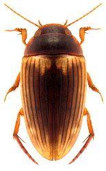 Dytiscidae Orientalische Region