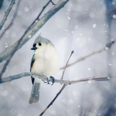 Fine art bird photography print of a beautiful little tufted titmouse in the snow by Allison Trentelman.