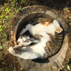 うちの坊ちゃん 庭の臼に入るの好きなんです。 ハイテンションになります... #愛猫 #猫 #ねねしりーず #臼 #cat #catgram #catgrams