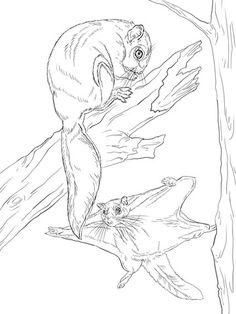Northern Flying Squirrel coloring page  Super Coloring  flying