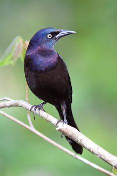 Common Grackle, aka neighborhood bully. Luckily these guys don't visit often and don't bring all their friends.