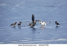 Stock Photo: European herring gull fighting hooded crows for a fish on the ice of frozen lake in spring. -