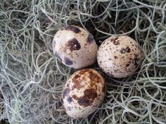The amazing health benefits of quail eggs!! Raise quail instead of chickens!