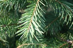 There are fir, pine, spruce, cypress and cedar trees. Learn more and how to care for them. #ChristmasTreeCare