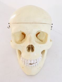 A human skull from a hanging anatomical model, offered by Mark Eaton.