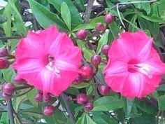 Trepadeira Ipoméia vermelho-bordô - Foto: flora1000flores.blogspot.com