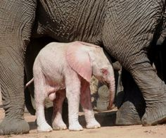Rare Animals, Cute Baby Animals, Animals And Pets, Cutest Animals, Elephants Never Forget, Save The Elephants, Baby Elephants, Beautiful Creatures, Animals Beautiful