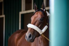 American Pharoah, a gentle horse, is unnerved by big crowds, an unfortunate Achilles' heel to have during Triple Crown season, when races attract over 100,000 people.