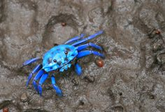 #Blue #Crab - Focus On the Positive: The Marine & Oceanic Sustainability Foundation www.mosfoundation.org
