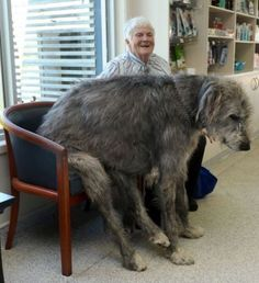 Waiting rooms are always more fun with an Irish Wolfhound. - Imgur