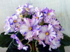 ☘ LE-NASTYA ☘ African Violet Plant Saintpaulia ☘ Starter Plug Ukrainian