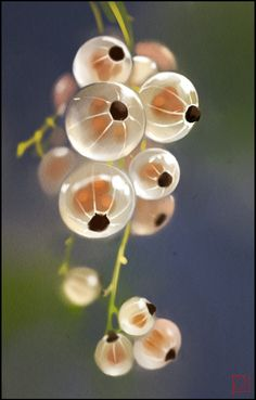 white currants by GaudiBuendia on DeviantArt - zeichnung - Fruit L'art Du Fruit, Fruit Art, Fruit And Veg, Fresh Fruit, Exotic Fruit, Exotic Flowers, Tropical Fruits, Beautiful Fruits, Beautiful Flowers