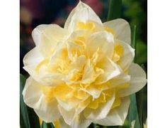 Another example of a Double Flower Daffodil. This one is the White Lion.