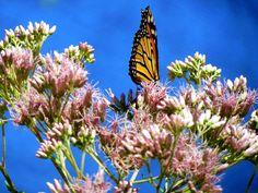 Butterfly at Elkton Butterfly Garden
