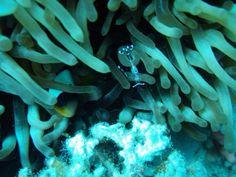 L'ospite di un anemone  Sharm el Sheik