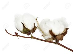 Two Cotton Bolls On Twig Isolated Stock Photo, Picture And Royalty ...