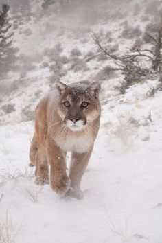 snow march (by missysnowkitten).  (I had a cougar come up to my side door one fall night a couple years back. Neat experience. )