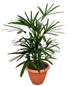 Buy plants online in bangalore,Bonsai plants for sale in bangalore,Bonsai plants online in bangalore,Order plants online in Bangalore Indoor Palm Trees, Small Palm Trees, Indoor Palms, Flowering Plants In India, Bonsai Plants For Sale, Foliage Plants, Exotic Plants, Palm Plant Care, Palm Tree Care