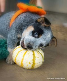 Another adorable ACD puppy