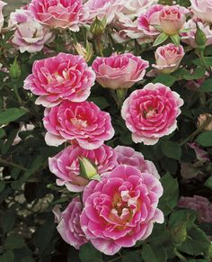 Whimsy - Miniature Rose    Available @ Bluemel's Garden Center 2015 www.bluemels.com