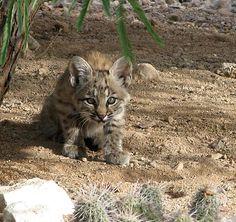Baby Bob Cat! http://tanqueverderanch.com/