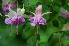 Fuchsia hybrida - palleroverenpisara