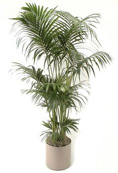 12 Tropical Plants Ideal for Growing Indoors: Palms