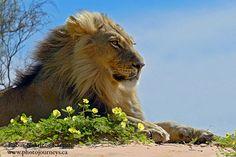 Lion, Kalahari desert Lilac Breasted Roller, Wildlife Safari, Cheetahs, Leopards, Wildlife Photography, Big Cats, Predator, Beast, Lion