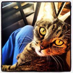 """I can haz cheezburger nao?""#SimonAndStellaCats #Stella #Simon #cats #cat #kitty #kitteh #gato #monkeybuns #furpig #neko (at La Kitteh Inn Pacifica Beach Hideway)"