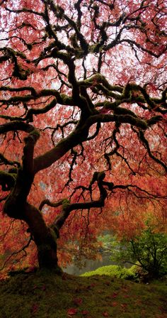 Beautiful Japanese Maple in the fall | Check Out The Most Majestically Trees In The World!