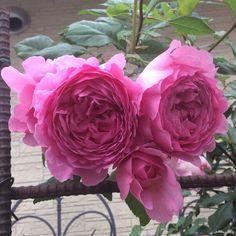 """155 mentions J'aime, 7 commentaires - かわまたばら子 (@midorose30) sur Instagram: """"#ウィズレー2008 我が家のは かなり色が濃い目です。美しいバラですが、春は西日が当たる場所なので 晴れると一日花🌹2017.5pic #薔薇 #ローズガーデン #庭のバラ #バラ #ガーデニング…"""""""