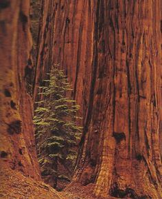 California Redwood Forest  ...have never seen this...