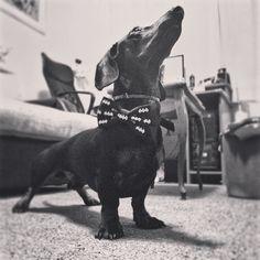 Batdachshund #batman #dachshund #jazavicar #dachshundsofinstagram