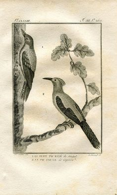 1803 Birds Print Woodpeckers Original Antique by CarambasVintage