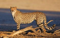 Beautiful Cheetah by Hendri Venter. Copyright law applies to this material.