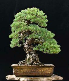 White pine. Walter Pall