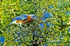 Blue Bird Berries - Photograph by Elizabeth WInter