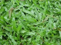 Axonopus compressus, also known as carpet grass is a species of grass in the genus Axonopus . It is often used as a permanent pasture, gro. Fescue Grass, Sandy Soil, Small Plants, Medicinal Herbs, Landscaping Tips, Flower Seeds, Trees To Plant, Perennials, Garden Design