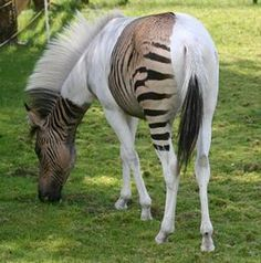 "Meet Eclyse - the amazing zebra crossing Zorse: Cross between a zebra and a horse. Paint horses don't pick up color in their white areas, hence the zebra stripes are only picked up in the paint's ""color zones"". Unusual Animals, Rare Animals, Animals And Pets, Funny Animals, Colorful Animals, Colorful Fish, Tropical Fish, Wild Animals, Pretty Horses"